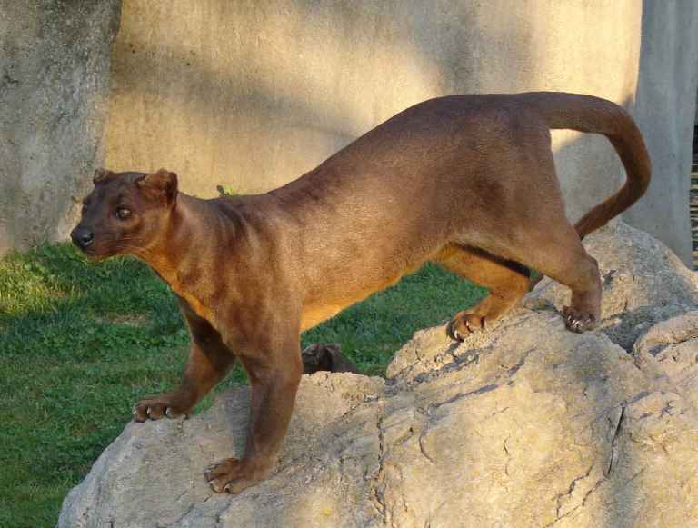 Focal Fossa is named after the cat-like animal endemic to Madagascar.